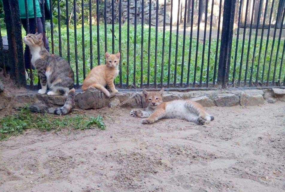 Знаменитая кошка Муська выкормила пятерых диких волчат фото