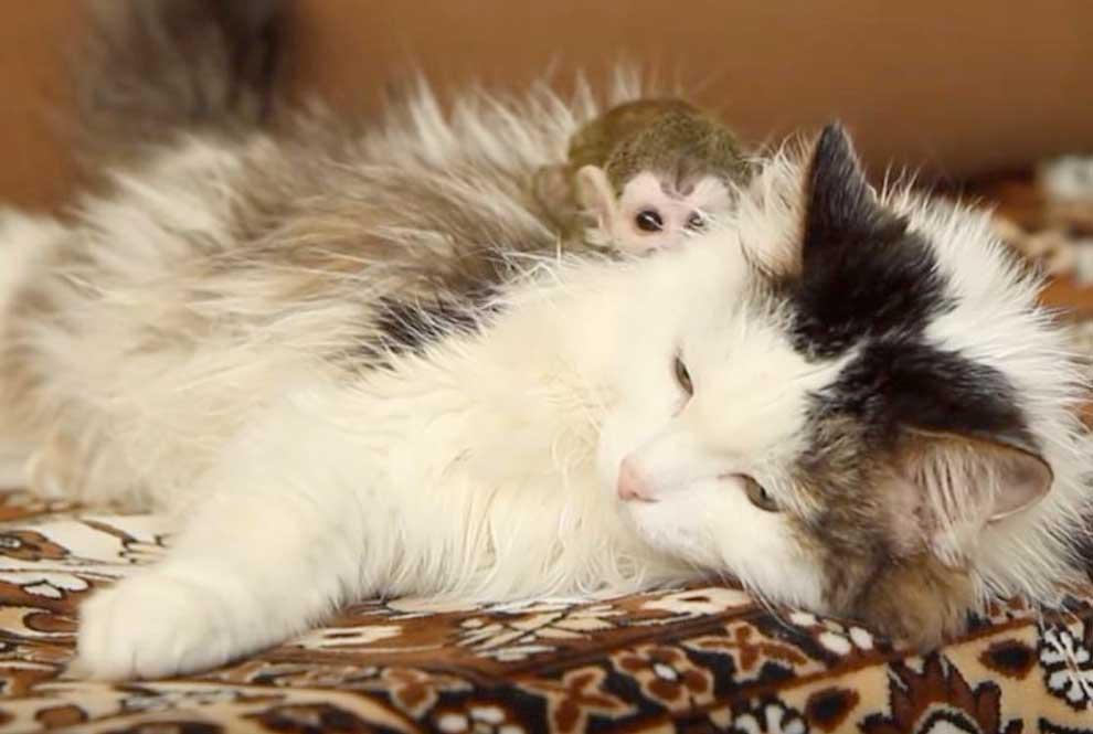 Кошка стала приемной мамой для новорожденной обезьяны фото