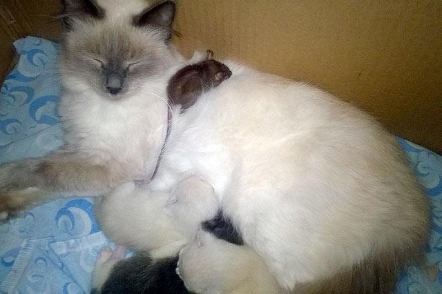 В Перми домашняя кошка принесла домой детеныша крысы фото