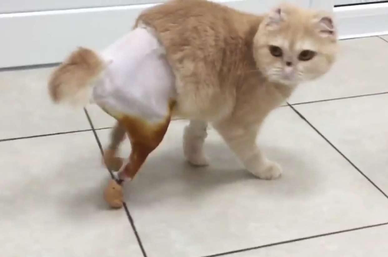 Первая в России кошка с двумя искусственными лапами научилась ходить фото