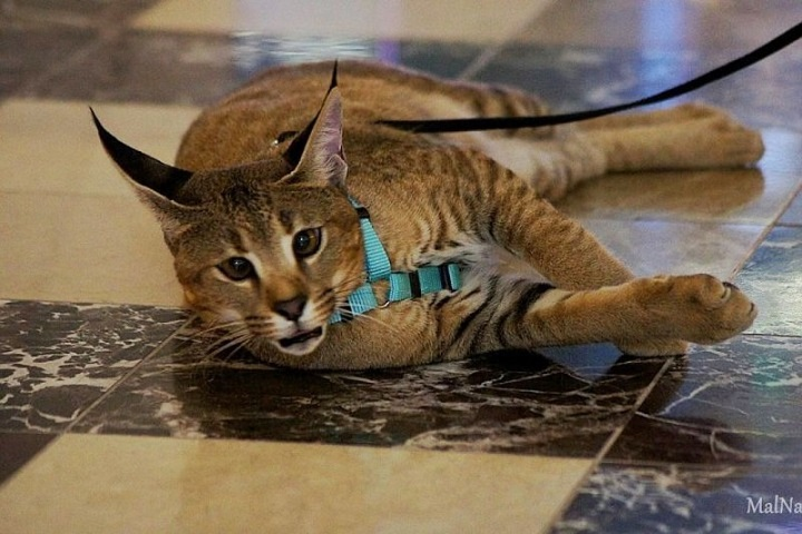 Demi Moor — самая дорогая кошка Санкт-Петербурга фото
