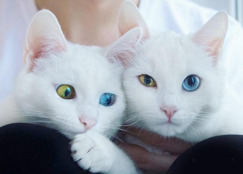 В Петербурге живут самые красивые в мире кошки-близнецы – Айрисс и Абисс фото