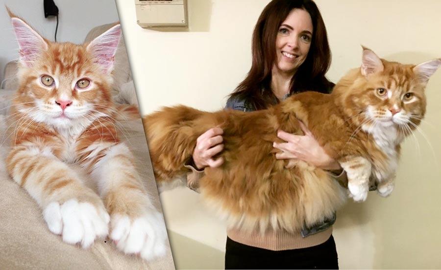 Самый длинный кот в мире живёт в Австралии фото
