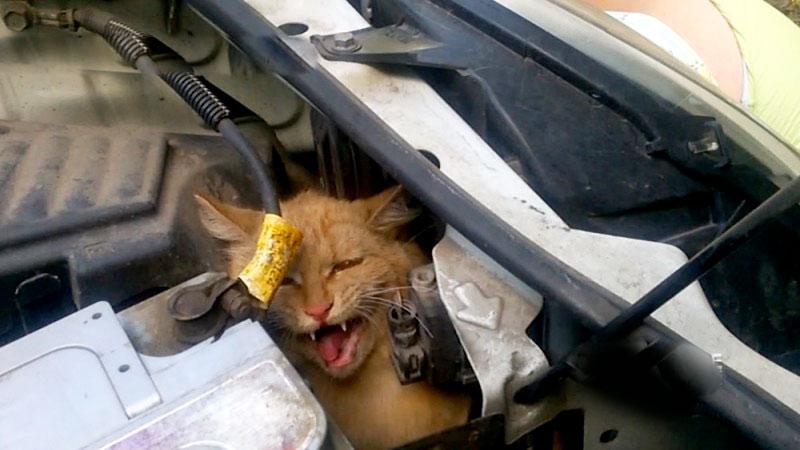 В Ярославле спасли кота, который весь день проехал под капотом автомобиля фото