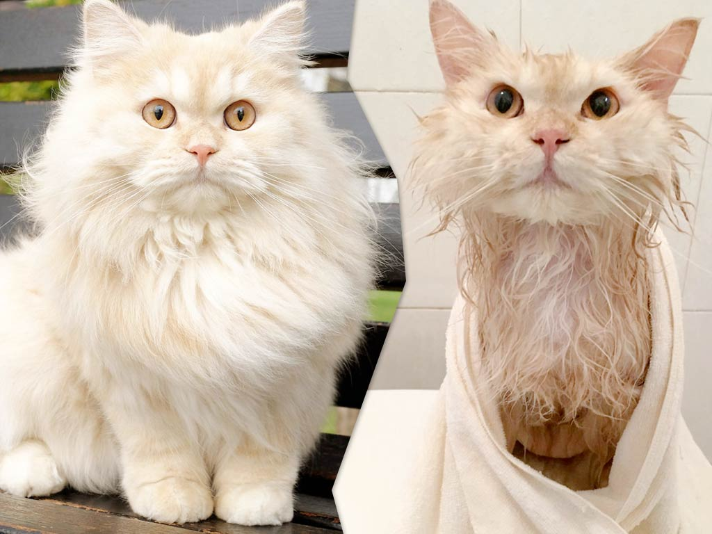Мипо — кот, который обожает принимать душ фото