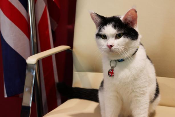 Мышелов Её Величества: кот Лоуренс приступил к работе в посольстве Великобритании в Иордании фото