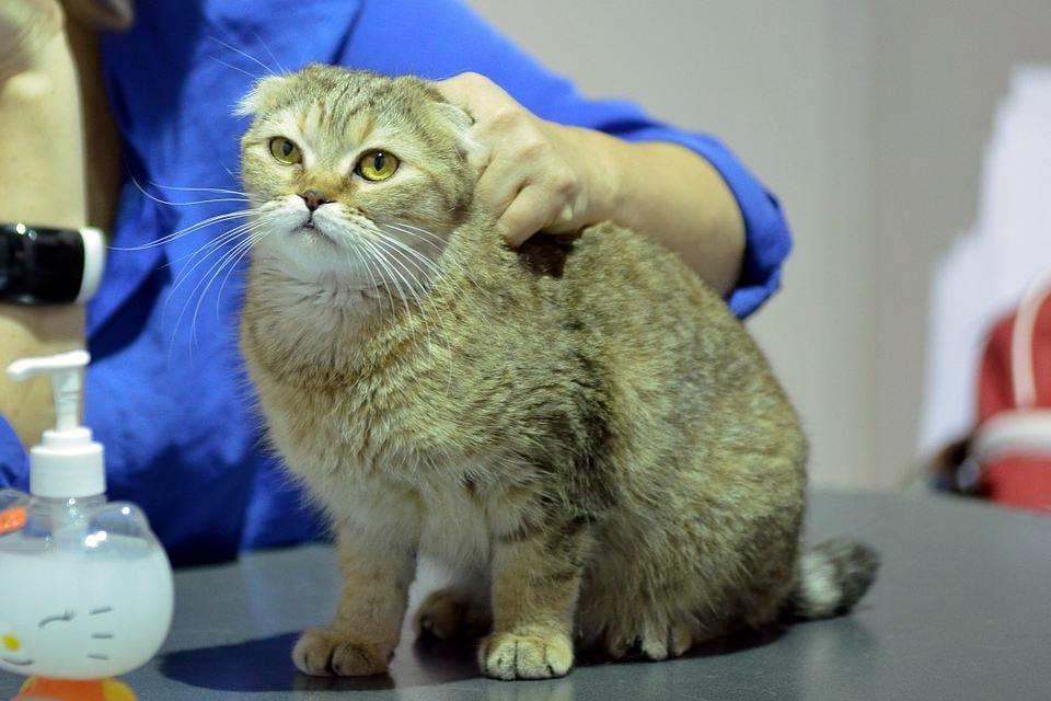 Кошка породы Скоттиш фолд стала причиной судебного спора между жителями Перми и Хабаровска фото
