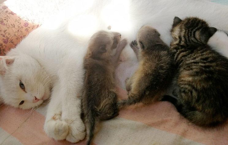 Кошка из Новосибирского зоопарка стала кормилицей двух новорожденных енотов фото