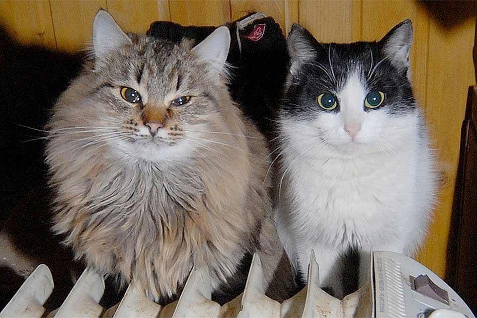 В Новой Зеландии хотят запретить кошек фото