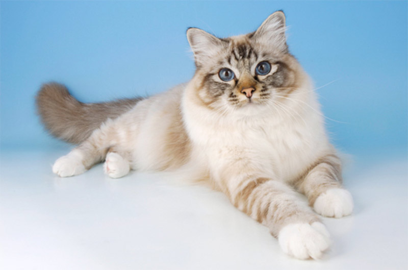 Стали известны самые популярные у россиян породы кошек фото