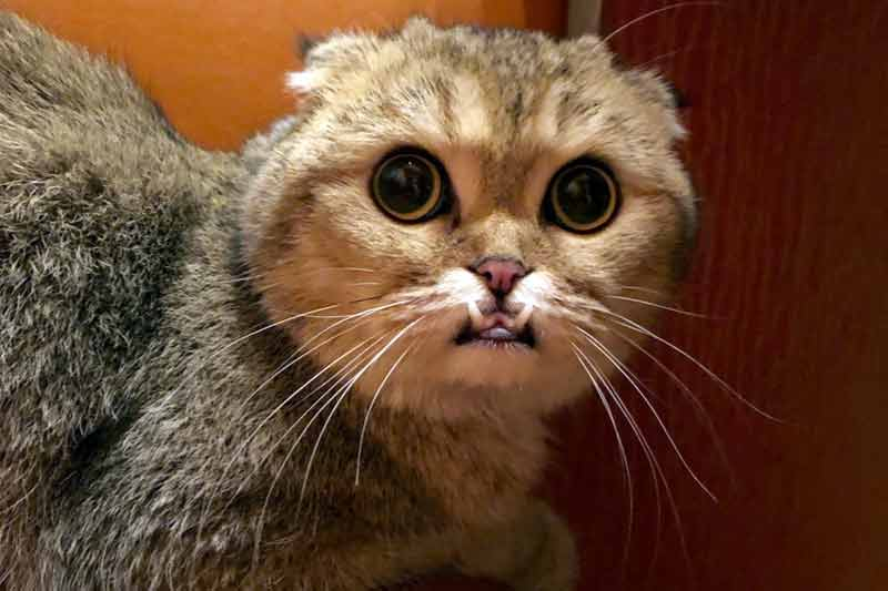 Найденная в Ивантеевке «саблезубая» кошка ищет хозяев фото