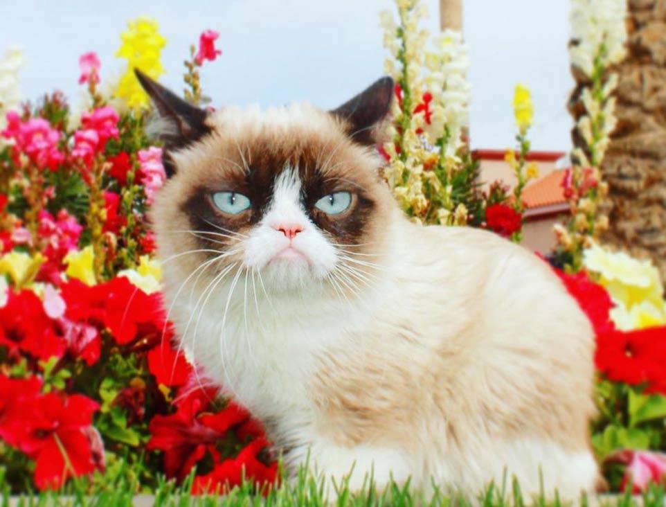 Умерла одна из самый популярных кошек в мире Грампи Кэт «Сердитая кошка» фото