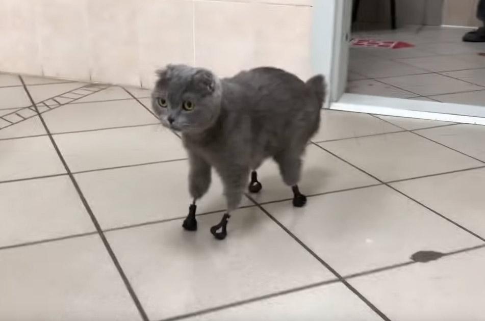 В России появились кошки с титановыми лапами фото