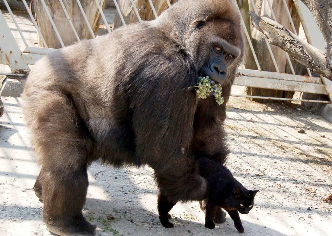 Неразлучная парочка: кот и горилла подружились в ростовском зоопарке фото