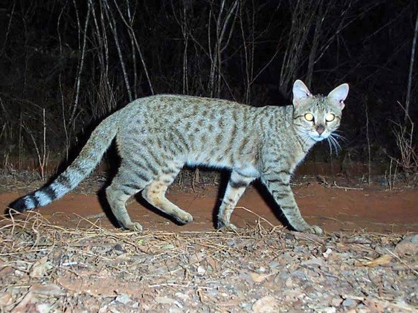 Дикие кошки Мадагаскара оказались потомками корабельных котов арабских мореплавателей фото