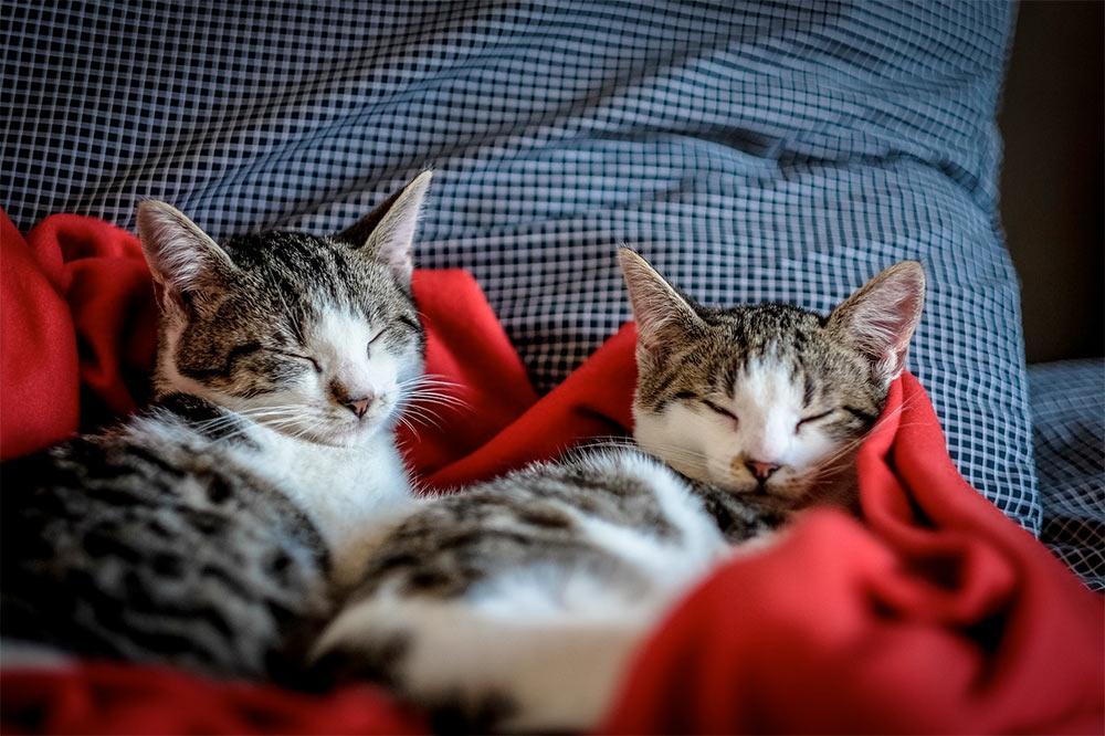 Эксперты оценили возможность заражения коронавирусом от домашних кошек фото