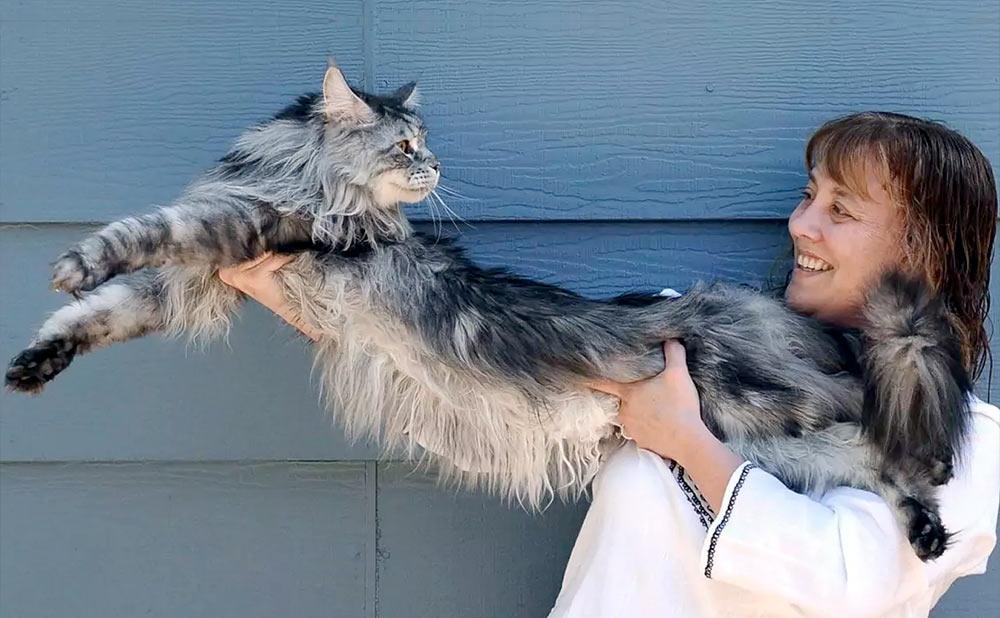Кот мейн-кун вырос таким длинным, что занимает весь диван в доме фото