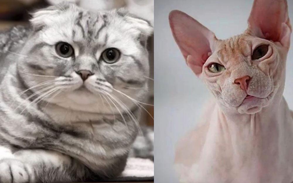 Кошка родила от сфинкса. Заводчики хотели усыпить котенка, похожего на инопланетянина, потому что его никто не хотел забирать фото
