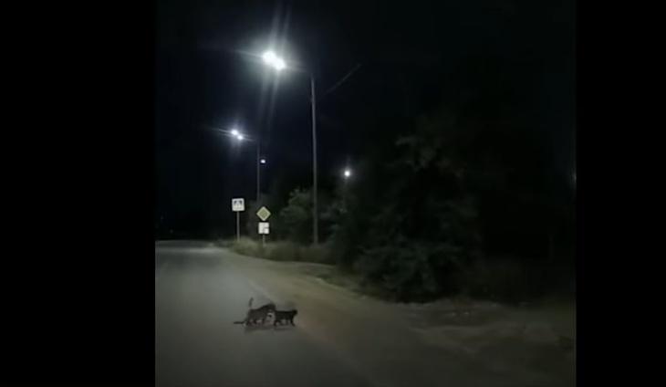 Кошки перевели через дорогу собаку с перебитыми лапами фото