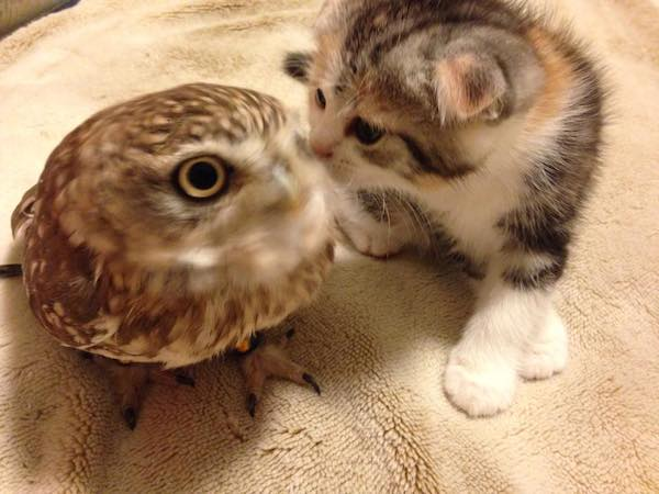 Сова и котенок познакомились в кафе и стали лучшими друзьями фото