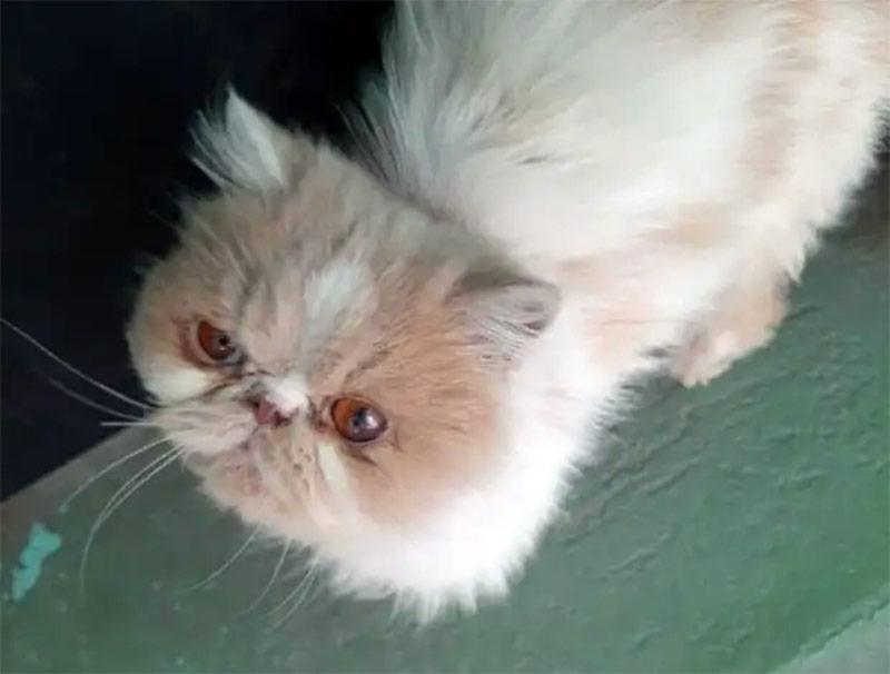 Персидский кот жил в подвале. Но встреча с добрыми людьми дала ему шанс фото