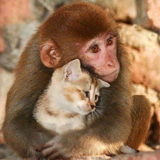 Индонезийская народная сказка. Кот и обезьянки фото