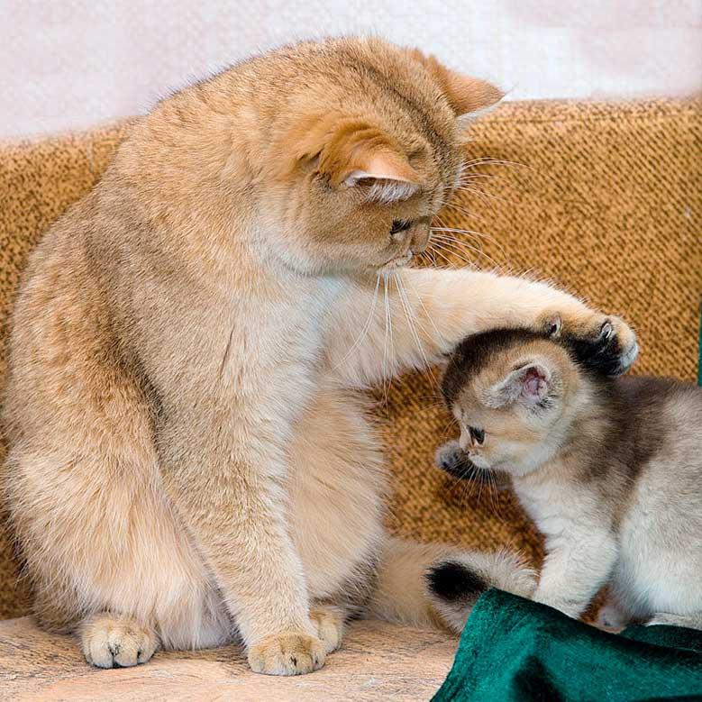 Кот-наставник фото