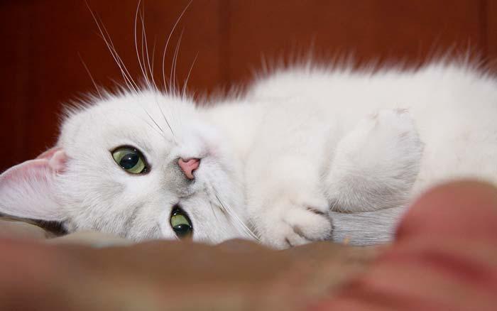 Посвящение одной Белой Кошке фото