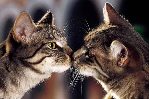 Противозачаточные гормональные средства для кошек фото