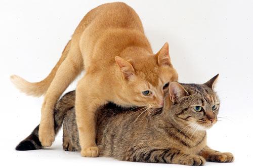 Полезные советы и рекомендации: вязка кошек фото