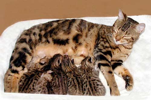Беременность у кошек и как принимать роды фото