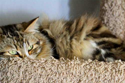 Послеродовые осложнения у кошки фото