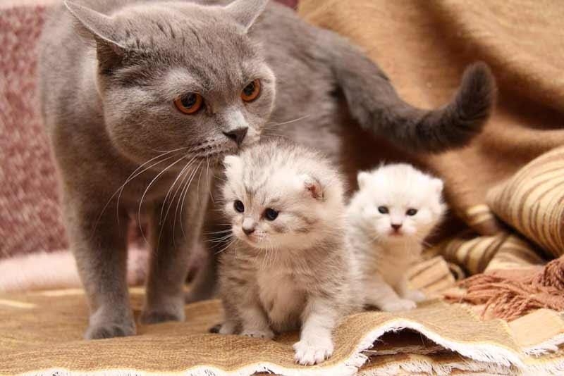 Послеродовой период у кошки фото