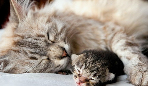 Подготовка к родам кошки фото