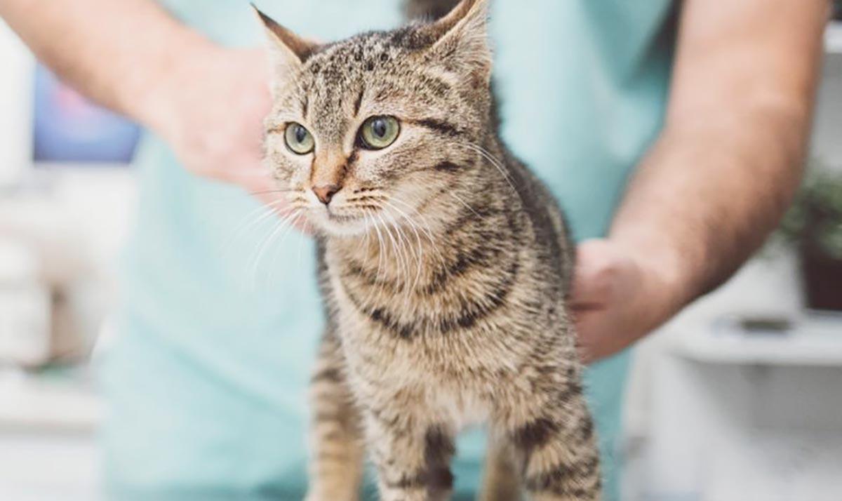 Что такое кастрация и стерилизация у кошек фото