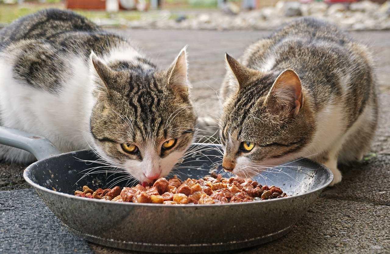 Кормление кошек один раз в день может улучшить их здоровье фото
