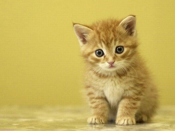 Выставку кошек в Вологде проведёт Вологодское общество защиты животных «Велес» фото