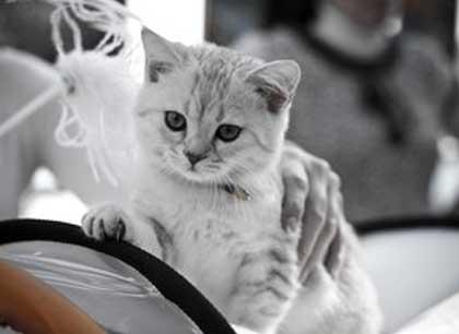 В Уфе в эти выходны пройдет выставка кошек фото