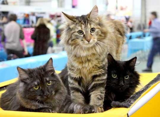 В Калуге пройдет Первая выставка-раздача кошек фото