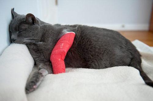 Переломы и вывихи у кошек фото