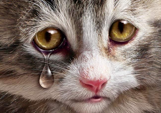Что делать если у кошки слезится глаз фото