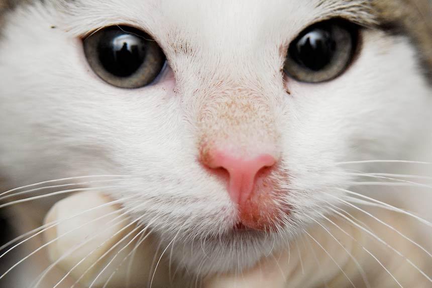 Кошачий стригущий лишай: симптомы, лечение и профилактика фото