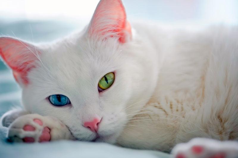 Гетерохромия. Разноглазые кошки – дурной знак или подарок судьбы фото